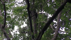 Bear Cuscus climb tree in the afternoon 4 Stock Footage