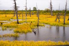 Dead Trees Standing Watery Wet Marsh Wetland Turnagain Arm Alaska - stock photo