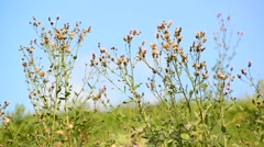 Stock Video Footage of Weeds in the summer in the meadow on  sunny day