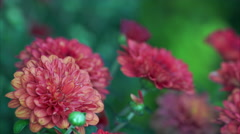Stock Video Footage of Chrysanthemum Close Up Macro with high depth of field