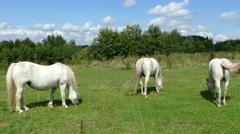 Three white horses on a row Stock Footage