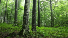 Drifting fog through beech trees and forest Stock Footage