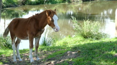A baby horse looking at the camera Stock Footage