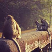Monkey. Long-tailed macaque. Macaca fascicularis Stock Photos