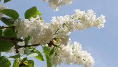 White common syringa flower in front of blue sky slow tilt 4K 3840X2160 30fps Stock Footage