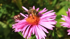 bee sitting on the asters - stock footage