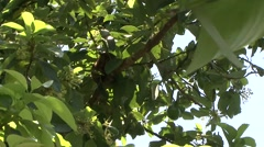 Pygmy Cuscus sleeping in tree 1 Stock Footage