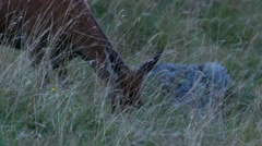 Female red deer grazing grass in the wild Stock Footage