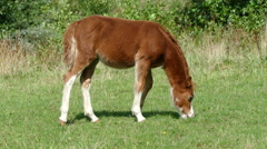 Baby horse eating grass Stock Footage