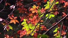 Buckeye tree in the fall nature Stock Footage