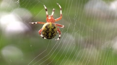Marbled orbweaver spider spinning web nature animal wildlife Stock Footage
