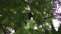 Red-knobbed Hornbill calls and looks around 1 Stock Footage