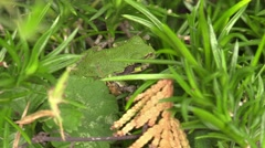 small green tree frog closeup hiding in the grass wildlife nature animal - stock footage