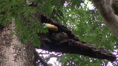 Red-knobbed Hornbill feed fruit 2 Stock Footage