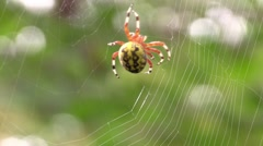 Marbled orbweaver spider spinning web wildlife nature animal Stock Footage