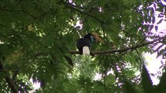 Red-knobbed Hornbill calls and looks around 2 Stock Footage