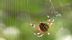Marbled orbweaver spider spinning web wildlife nature animal Stock Footage