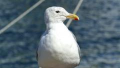 Happy Seagull Looking For Food Stock Footage