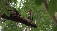 Red-knobbed Hornbill jump to hole in tree with berry in mouth Stock Footage