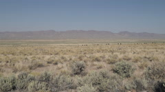 Zoom in on Free Range Cattle in the Desert - stock footage