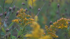 Stock Video Footage of Goldenrod gently blowing in a field 4k