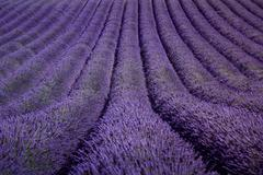 Lavender flower blooming fields as pattern or texture. Provence, France. - stock photo