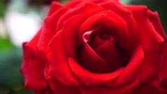 Red rose flower macro sliding motion 4K Stock Footage