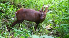 Malaysian barking deer. Stock Footage