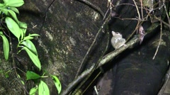 Spectral Tarsier female with baby 1 Stock Footage