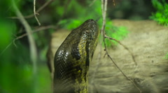 Close up of an dangerous tropical snake head, crawling Stock Footage