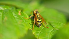 The wasp cleans jaws and wings, sitting on a leaf of raspberry Stock Footage