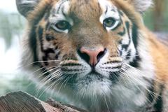 Portrait of Amur tiger Stock Photos