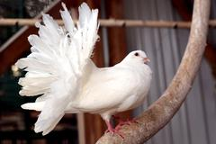portrait of a white dove with a fluffy tail - stock photo