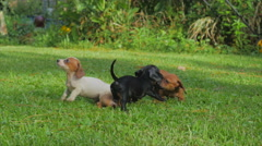 Dachshund puppies playing on grass Stock Footage