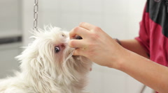 Woman cutting hair to a small white maltese dog with scissors Stock Footage