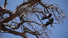 Stock Video Footage of Two Ravens in Bryce National Park (1 of 3)
