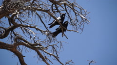Stock Video Footage of Two Ravens in Bryce National Park (2 of 3)