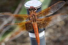 Orange Dragonfly - stock photo