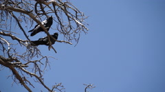 Stock Video Footage of Two Ravens in Bryce National Park (3 of 3)