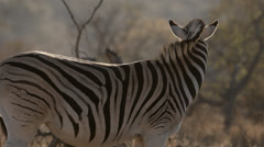 A Burchell's Zebra standing and turning it's head Stock Footage