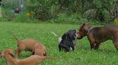 young adult dachshund and puppies - stock footage