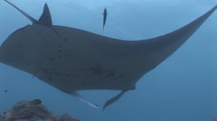 Manta Ray at Cleaning Station Stock Footage