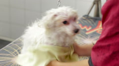 Woman hand drying small white maltese dog with yellow rag Stock Footage