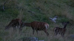 Hinds and fawn in a meadow in the afternoon Stock Footage