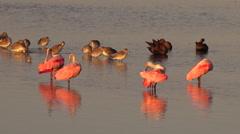 Shorebirds wade in golden light along the Florida coast. - stock footage