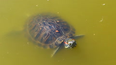 turtle floats in the murky water - stock footage
