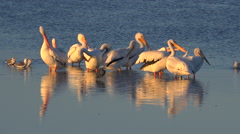 Pelicans wade in golden light along the Florida coast. Stock Footage