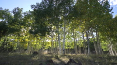 Dolly Shot of Aspen Tree Forest Stock Footage