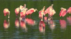 Beautiful pink birds wade in golden light along the Florida coast. - stock footage