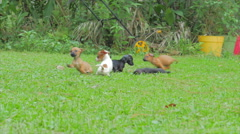 Short haired dachshunds playing Stock Footage